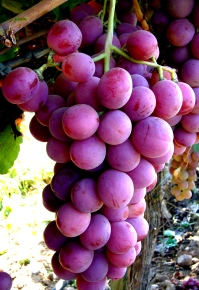 red-seedless-ORGANIC